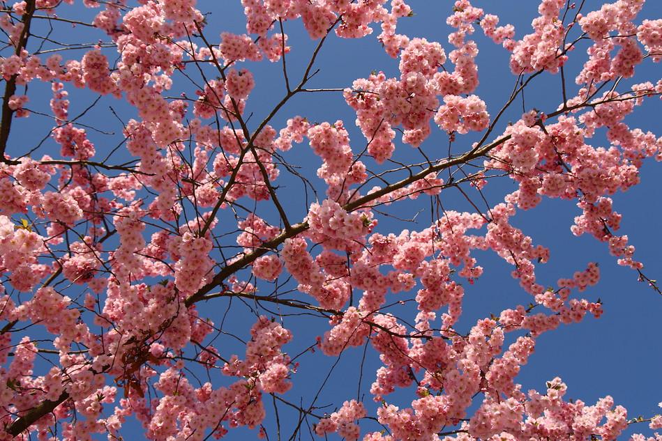 Blütendecke