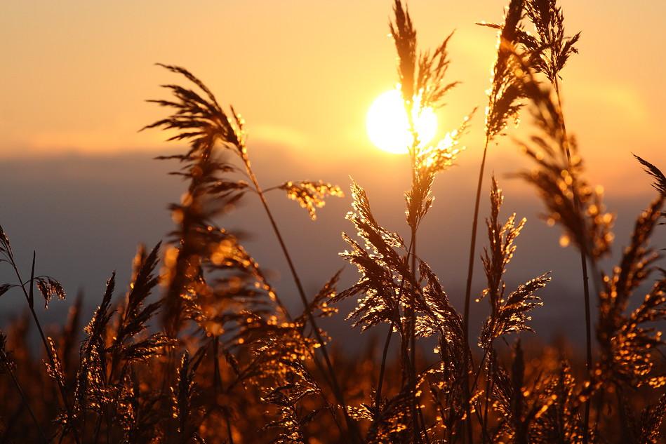 Sonne im Schilf