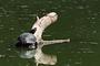 Vorschau von: Rotwangen-Schmuckschildkröte
