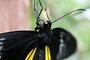 Vorschau von: Schwarzer Schmetterling