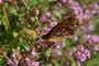 Vorschau von: Schmetterling