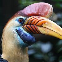 Ausschnitt von: Helmhornvogel