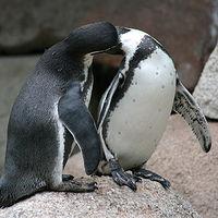 Ausschnitt von: Verliebte Pinguine