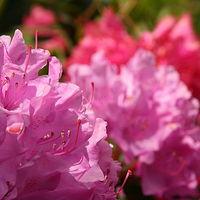 Ausschnitt von: Rhododendron