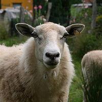 Ausschnitt von: Schaf