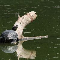 Ausschnitt von: Rotwangen-Schmuckschildkröte