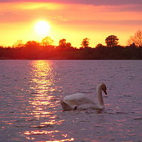 Ausschnitt von: Schwan im Sonnenuntergang