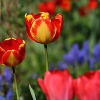 Ausschnitt von: Tulpen