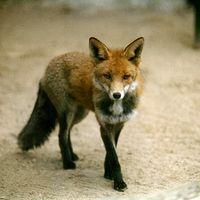 Ausschnitt von: Fuchs
